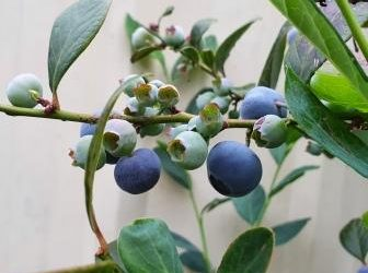 Are Blueberry's Easy to Grow?